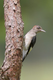 Red-headed Woodpecker juve