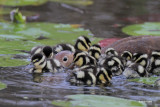 Black-bellied Whistling Duck and ducklings