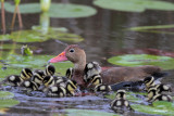 Black-bellied Whistling Duck and 10 ducklings
