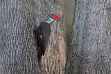 Pileatd Woodpecker