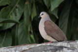 gray-fronted_dove