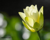 _MG_0948_Lotus.jpg