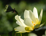 _MG_1190_Lotus.jpg