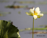 _MG_1308_Lotus.jpg