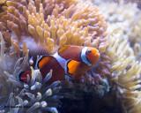 IMG_1454_Clownfish.jpg