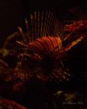 IMG_1525_LionFish.jpg