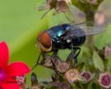 5F1A0781_Blue bottle fly.jpg
