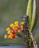 5F1A0865_Monarch Larva.jpg