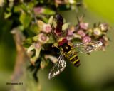 5F1A0893_Allograpta obliqua fly.jpg