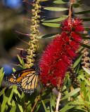 5F1A1536_Monarch.jpg