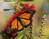 5F1A1547_Monarch.jpg