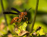 5F1A1617_Red Wasp.jpg