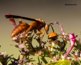 5F1A1639_Red Wasp and Ladybug.jpg
