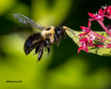 5F1A1671 Eastern Carpenter Bee.jpg