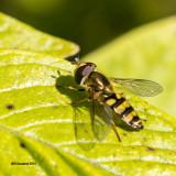 5F1A1727_Allograpta fly.jpg