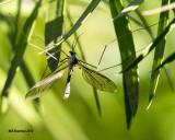 5F1A1731_Crane Fly.jpg