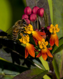 5F1A1816_Honey Bee.jpg