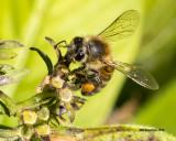 5F1A1833_Honey Bee.jpg