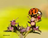 5F1A1850_Asian Ladybug.jpg