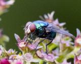 5F1A2288_Blue Bottle Fly.jpg