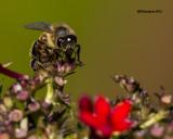 5F1A2435 Honey Bee.psd