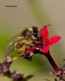 5F1A2445 Honey Bee.jpg