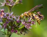 5F1A2521 Paper Wasp.jpg
