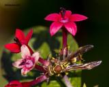 5F1A2603 Paper Wasp.jpg
