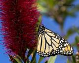 5F1A2659 Monarch.jpg