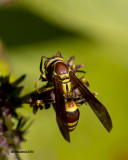 5F1A2666 paper wasp.jpg