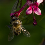 5F1A2680 Honey Bee.jpg