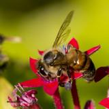 5F1A2803 Honey Bee.jpg