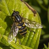 5F1A3366 Bee Fly.jpg
