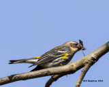 5F1A3505 Yellow-rumped Warbler.jpg
