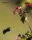 5F1A3838 Southern Carpenter Bee.jpg