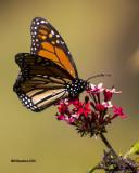 5F1A4008 Monarch.jpg