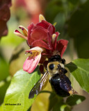 5F1A4044 Eastern Carpenter Bee.jpg