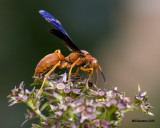 5F1A4417 Red Wasp.jpg