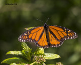 5F1A4434 Monarch.jpg