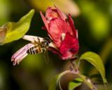 5F1A4999 Honey Bee.jpg