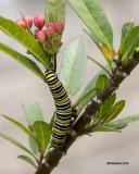 5F1A5219 Monarch Larva.jpg