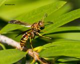 5F1A5300 Paper Wasp.jpg