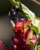 5F1A5401 Southern Carpenter Bee.jpg