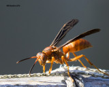 5F1A5581 Red Wasp.jpg