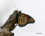 5F1A5609 Monarch.jpg