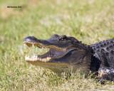 5F1A6369 American Alligator.jpg