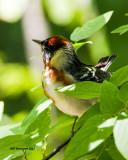 _MG_3633 Bay-breasted Warbler.jpg
