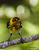 _MG_0677 Cape May Warbler.jpg