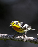 _MG_1445 Blackburnian Warbler.jpg