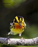 _MG_1464 Blackburnian Warbler.jpg